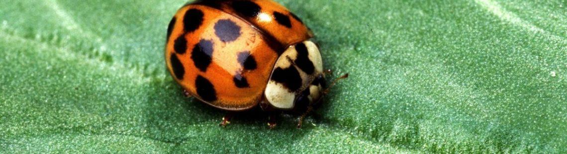 """瓢虫作为大自然的""""杀虫剂""""可助棉民增加收益"""