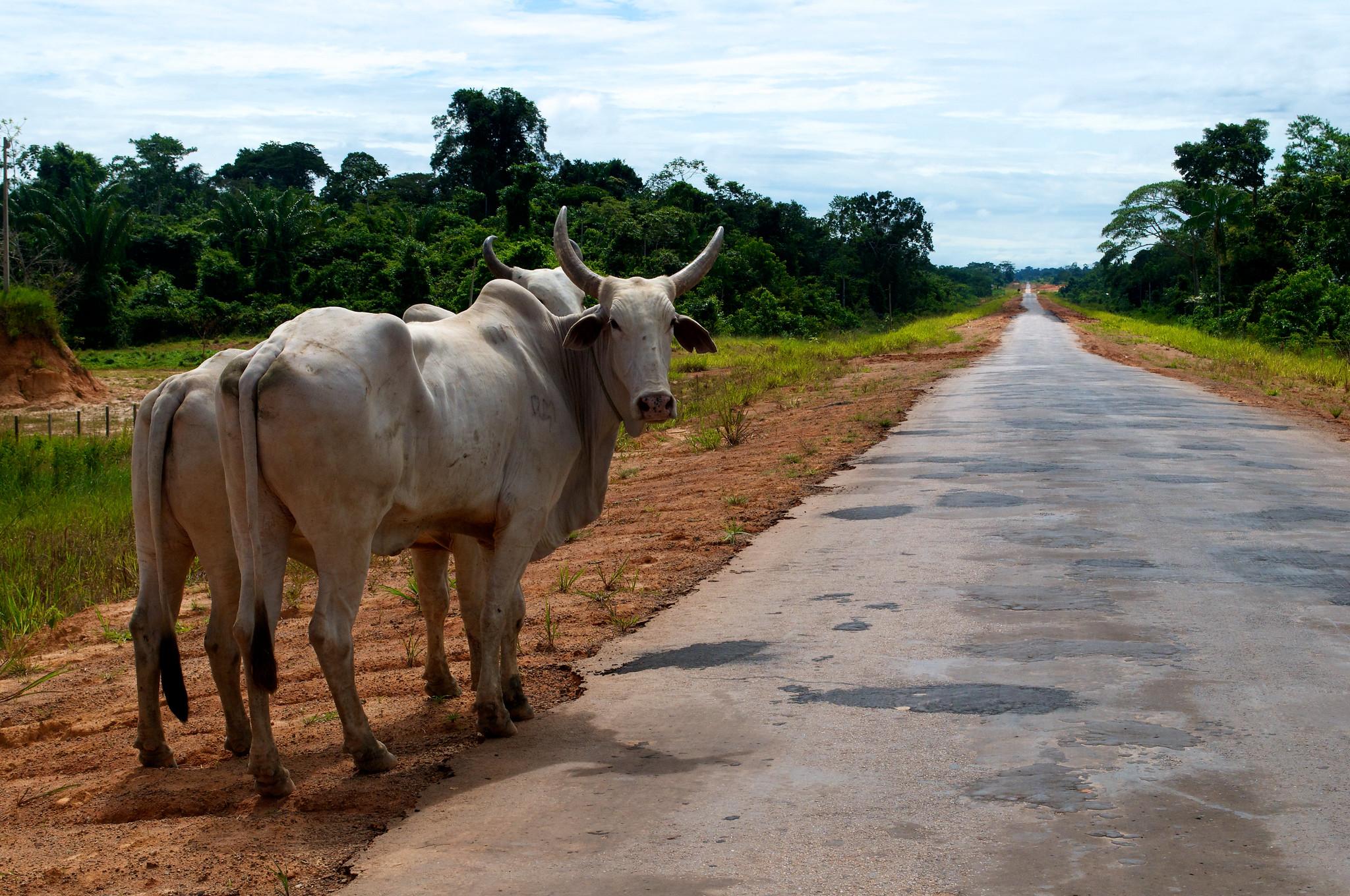 养牛和修路是巴西亚马逊森林砍伐的两大主要驱动力。