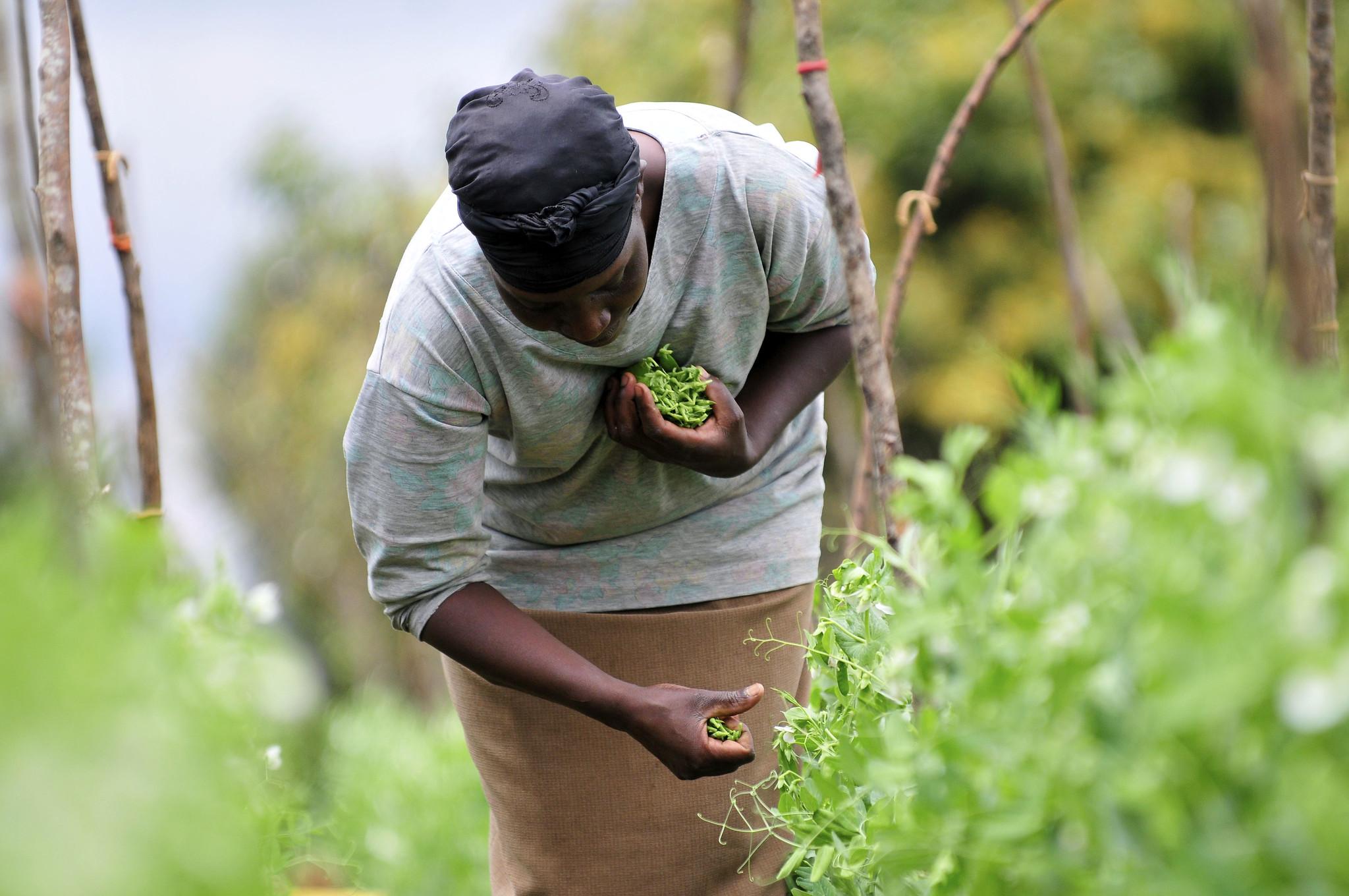 肯尼亚山区,一名妇女正在采摘荷兰豆